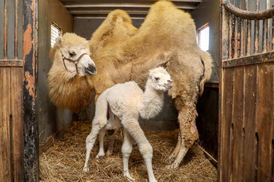 """Ein seltenes, weißes Kamelbaby steht im Stall des """"Circus Barum"""" vor seiner Mutter. (Archivbild)"""