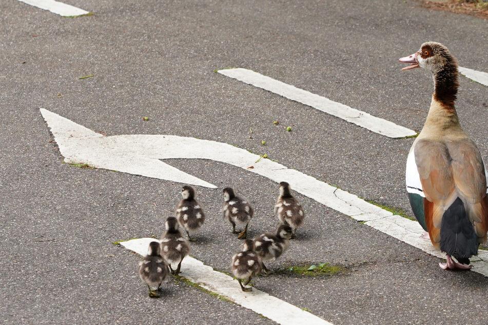 Die Enten-Familie wollte nur eine Straße überqueren, doch dann knallte es. (Symbolfoto)