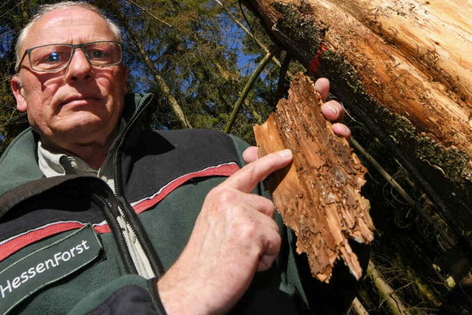 Abteilungsleiter Jörg von der Heide hält neben einer vom Borkenkäfer geschädigten Fichte ein Stück Baumrinde in der Hand, die die typischen Larvengänge des Schädlings zeigt.