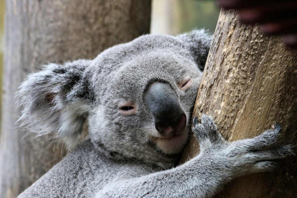 Koalas mitten in Leipzig.