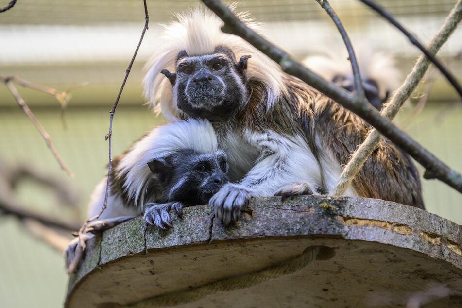 Wie wäre es mit einem Besuch bei den Affen?