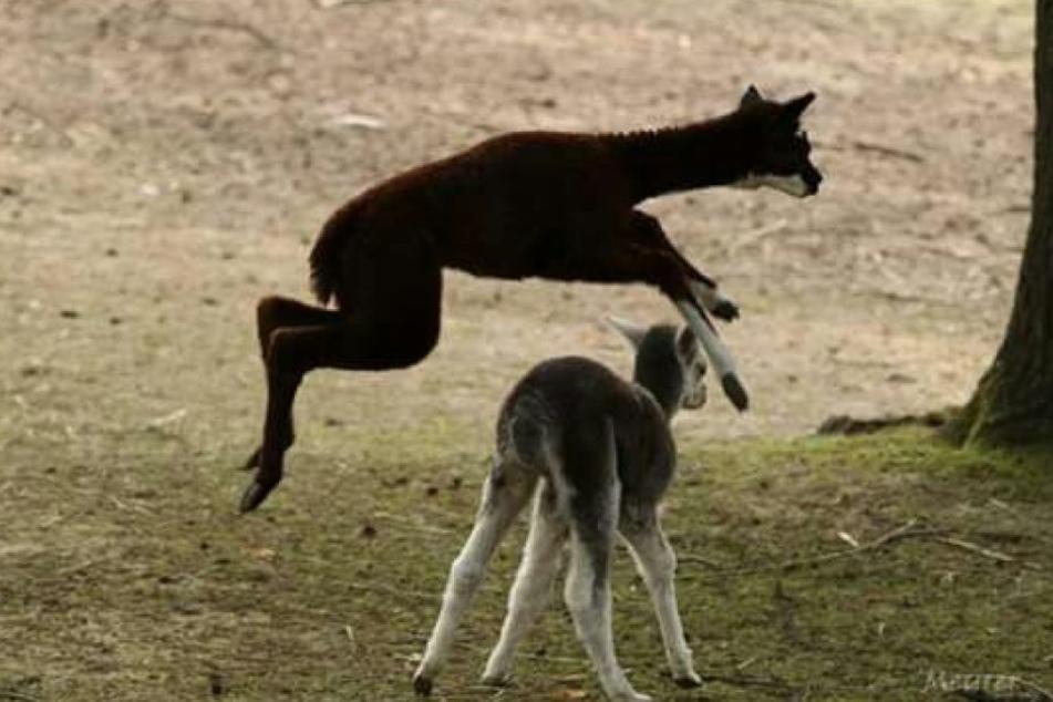 Auch wenn sie noch keinen Namen haben, große Sprünge können die kleinen Alpakas schon machen.