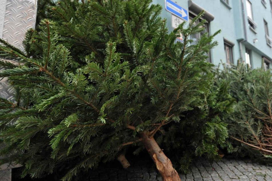 Derzeit liegen überall im Erfurter Stadtgebiet die Bäume zur Abholung bereit.