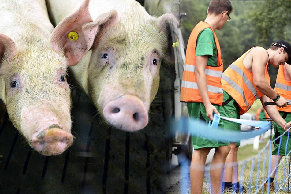 Warnschilder sogar an der Autobahn! Angst vor Schweinepest in Deutschland