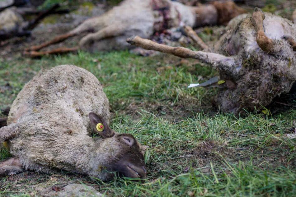 Zwei tote Schafe wurden in Oppenau im Ortenaukreis gefunden. (Archivbild)