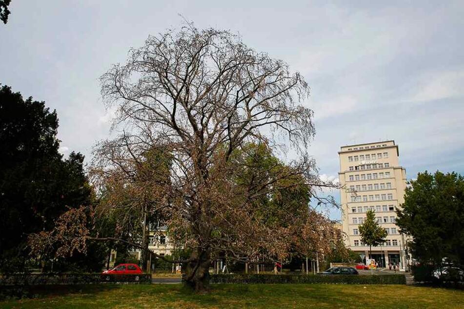 Schlimm: 700 Bäume im Stadtgebiet sind bereits abgestorben.