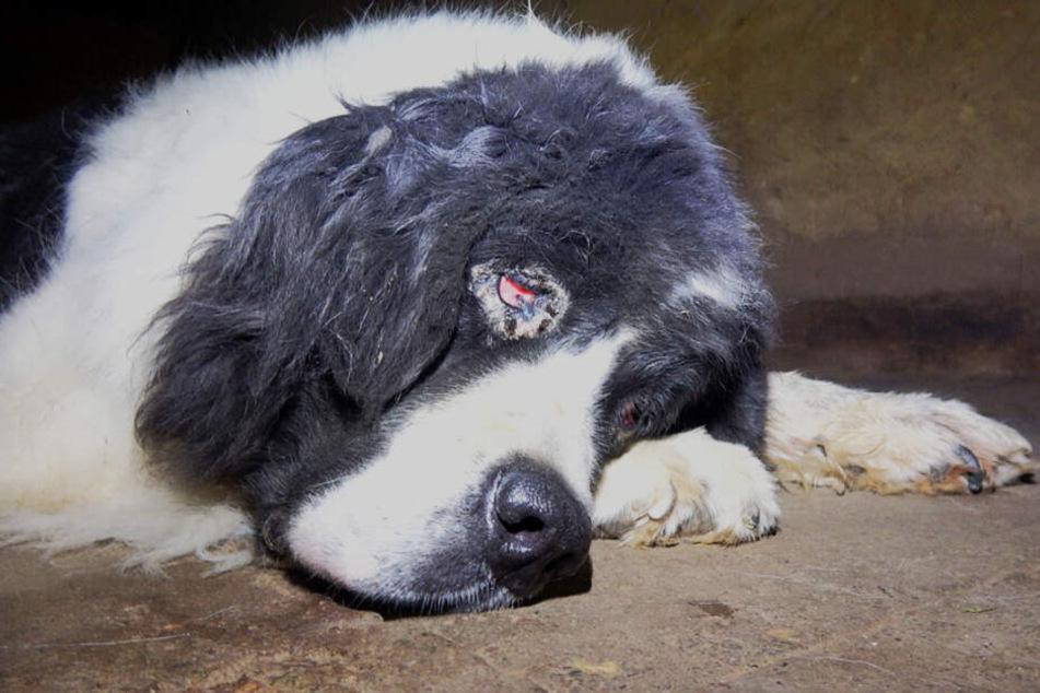 Ein Hund leidet an einer chronischen Augenentzündung. Es ist ganz rot.