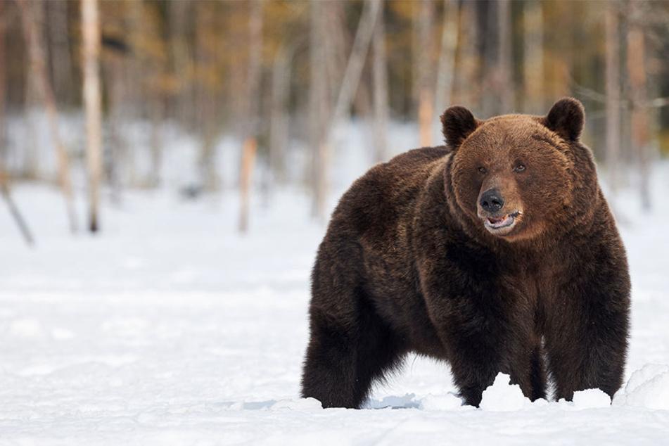 Der tödliche Angriff des Grizzlybärs kam völlig überraschend. (Symbolbild)