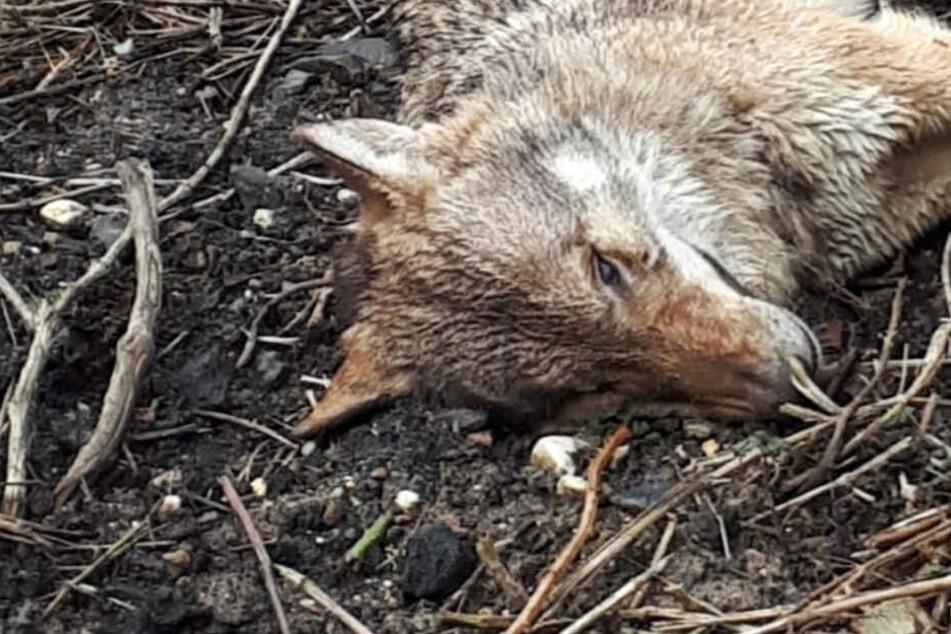 Toter Wolf in Wiesbaden gefunden: Woher stammt das Tier?