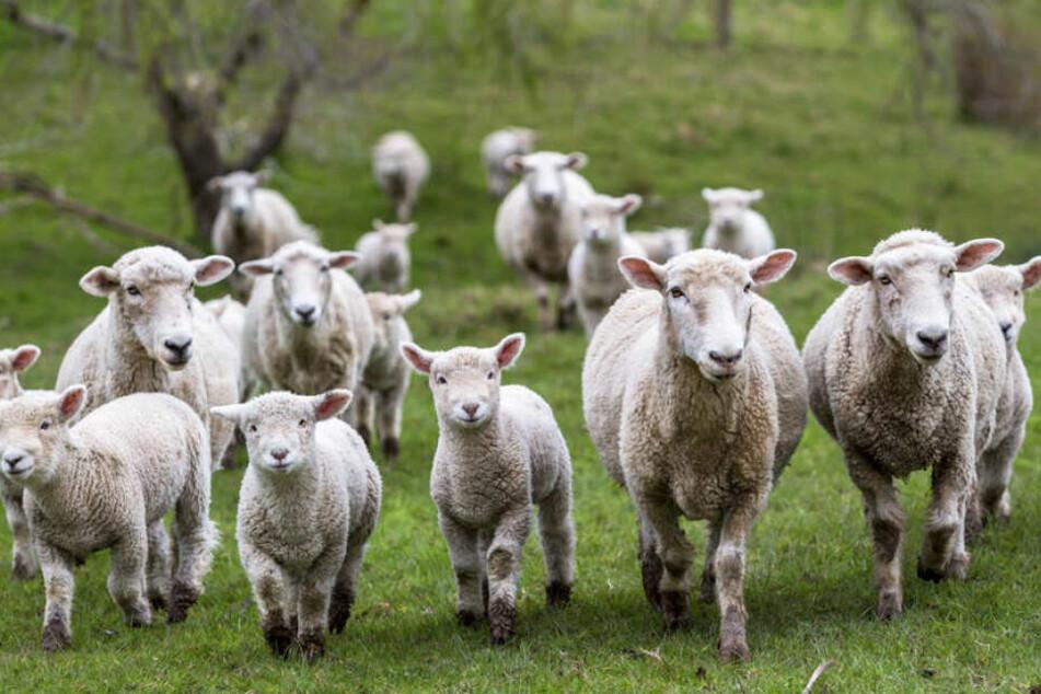 Die Schafe waren auf ihrer Herde unterwegs, als es zu dem Angriff kam. (Symbolbild)