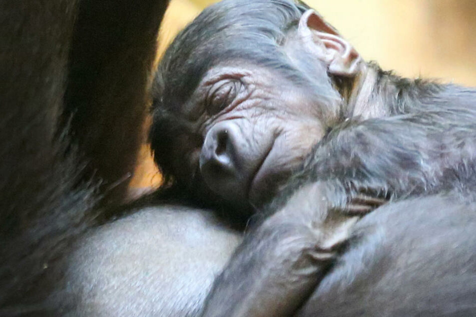 Neujahr geboren: Gorilla-Baby hat noch ein Geheimnis