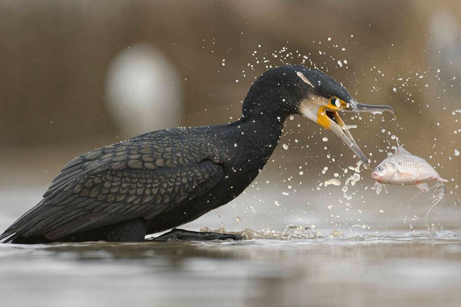 Kormorane sind Fischräuber und für Teichwirte ein Problem. Auf etwa 20 bis 30 Prozent beziffert Kittner seine jährlichen Verluste.
