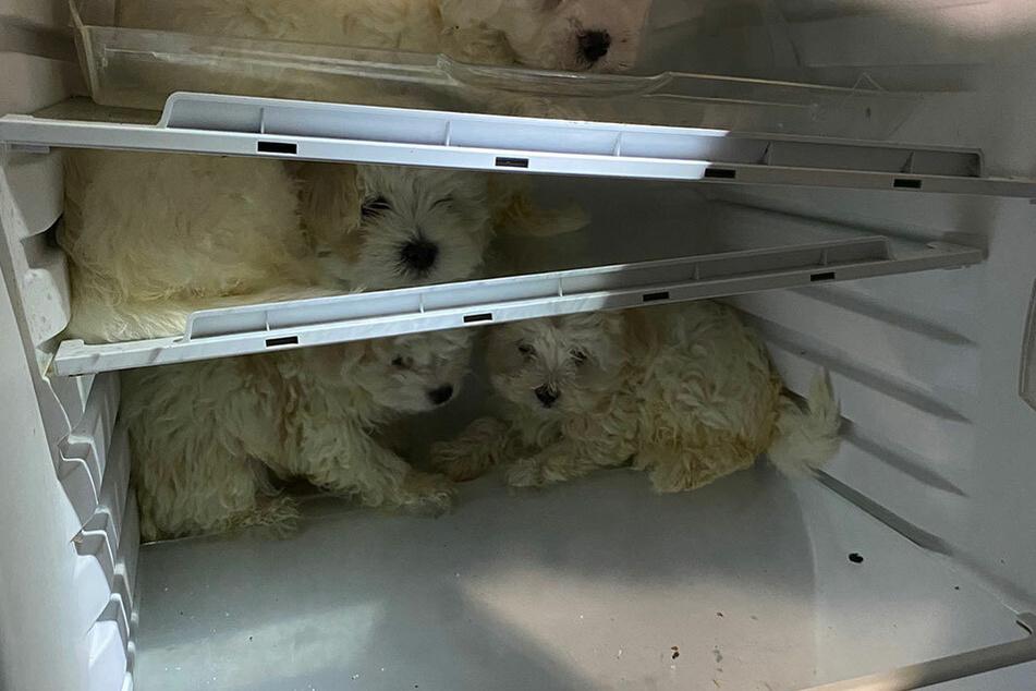 Bei der Razzia wurden einige Welpen kurzerhand in einem Kühlschrank versteckt.