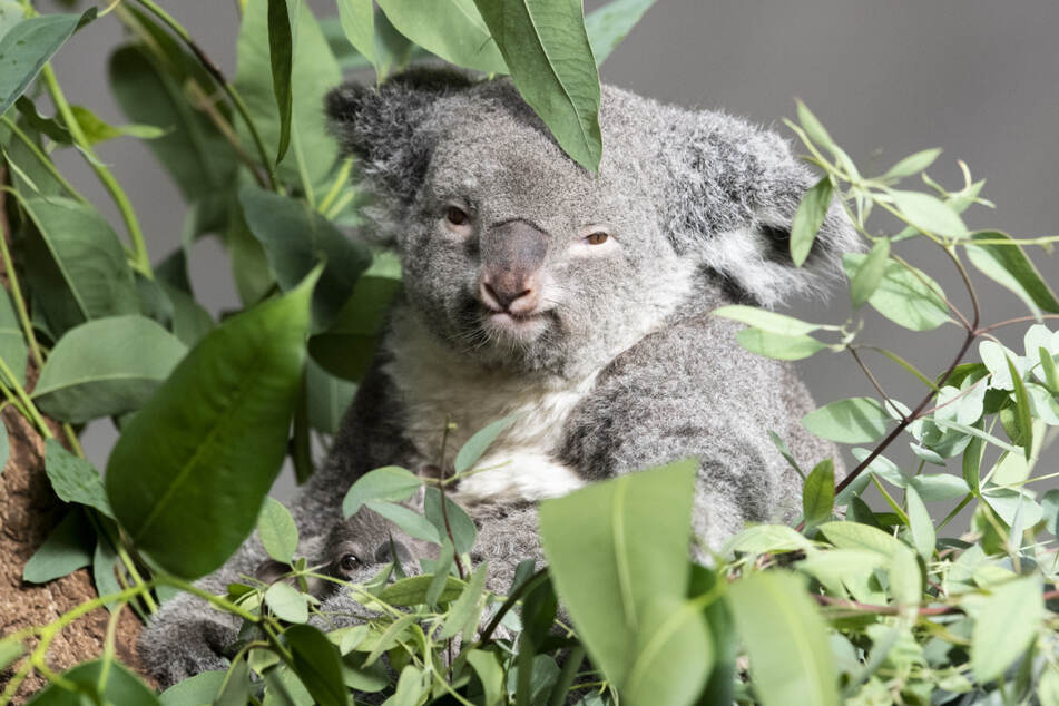 Koala-Mama Pippa zeigt stolz ihren rund sieben Monate alten Nachwuchs.