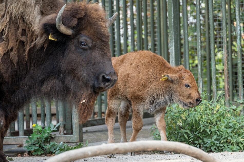 Winni ist der niedliche Neuzugang im Bison-Gehege des Kölner Zoos. Der Bulle erblickte im September das Licht der Welt.