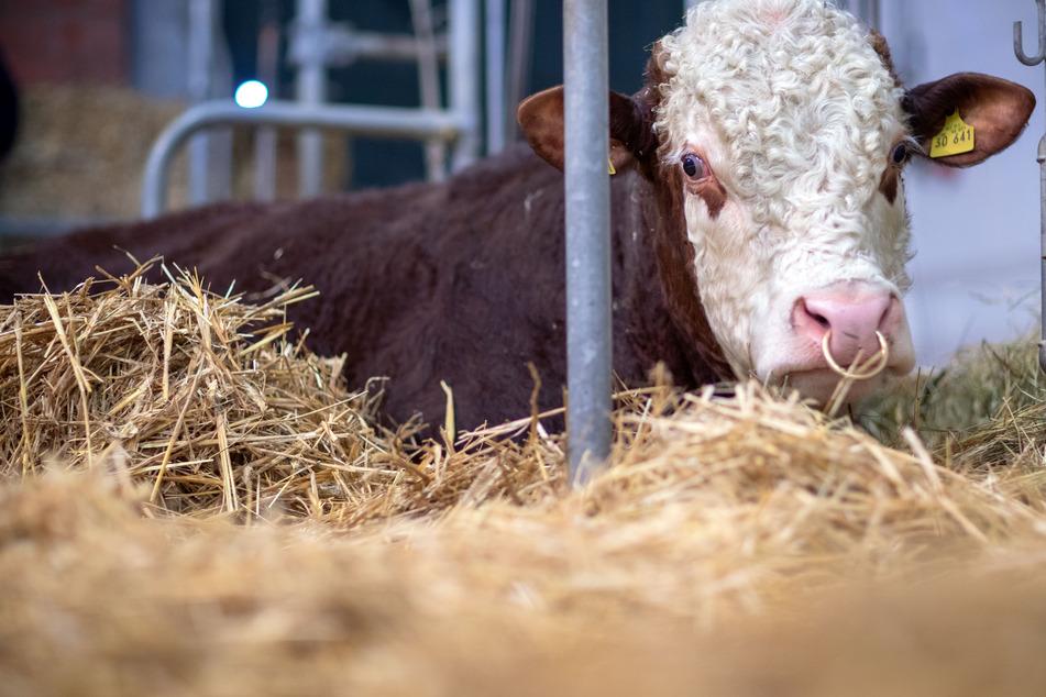 Ein Jungbulle in Hamfelde entkam von seiner Weide, griff mehrere Menschen an und musste schließlich erschossen werden. (Symbolfoto)