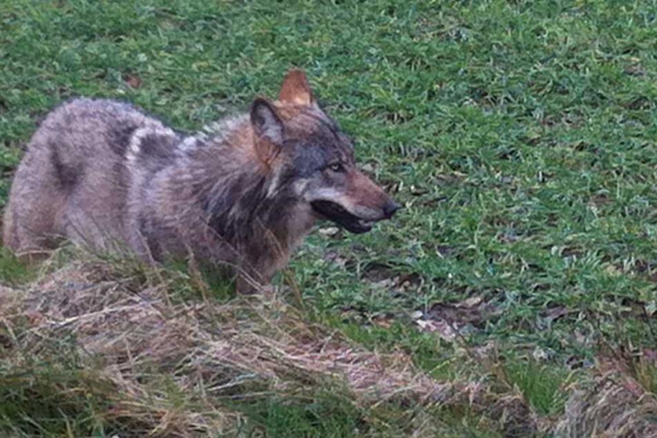 Weil der Wolf mehrere Tiere riss, soll er nun abgeschossen werden.