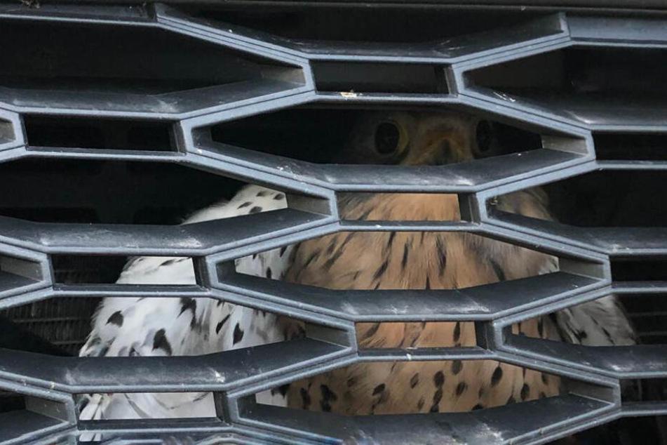 Blinder Passagier: Frau schockiert, als sie sieht, was sich bei Autofahrt im Kühlergrill verfangen hat