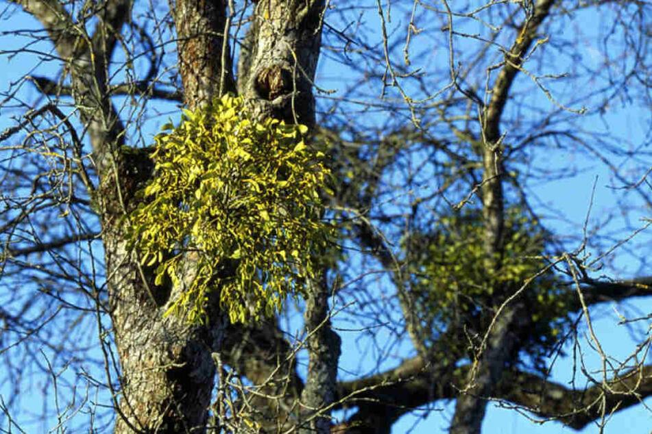 Wer vom Blüherpark gen Dresdner Rathaus schaut, entdeckt zahlreiche Misteln  in den Bäumen.