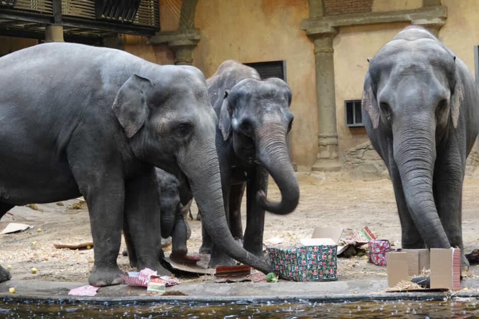 Die Elefanten hatten an den Geschenken viel Spaß.