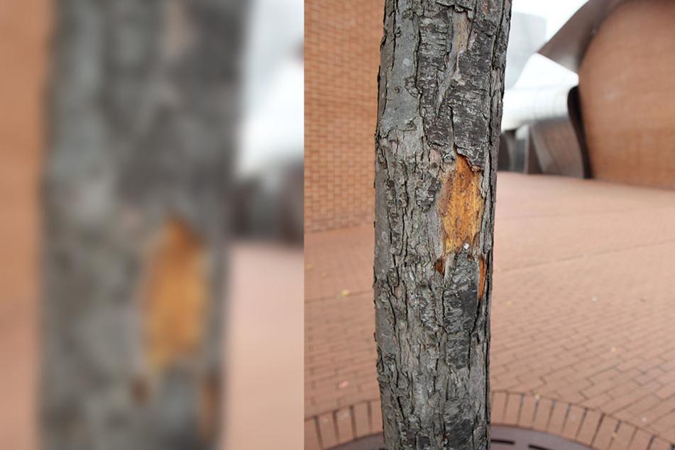Die Rinde fällt ab, den Bäumen am Marta-Museum geht es nicht gut .