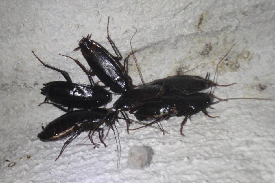 Die Kontrolleure fanden unter anderem Kakerlaken bei ihren Untersuchungen. (Symbolbild)