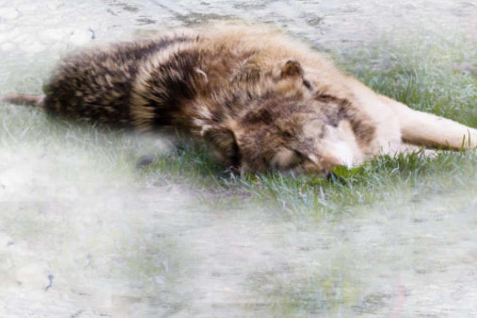 Eine verendete Wölfin. (Symbolbild)