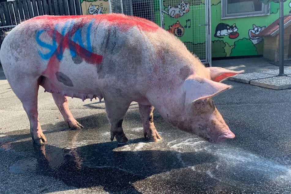 Ein Schwein wurde vor dem Derby zwischen dem 1. FC Kaiserslautern und Waldhof Mannheim mit Fußballparolen beschmiert und völlig erschöpft auf einem Sportplatz in Mannheim gefunden.