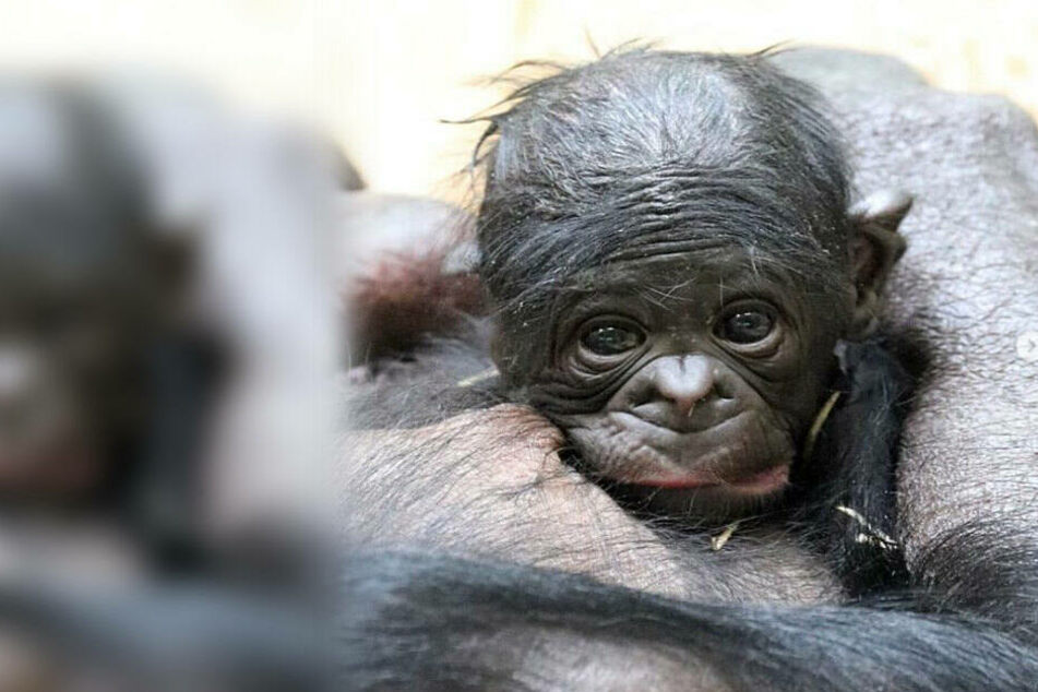 Der Zoo Berlin fragt: Wie soll der Baby-Affe heißen?