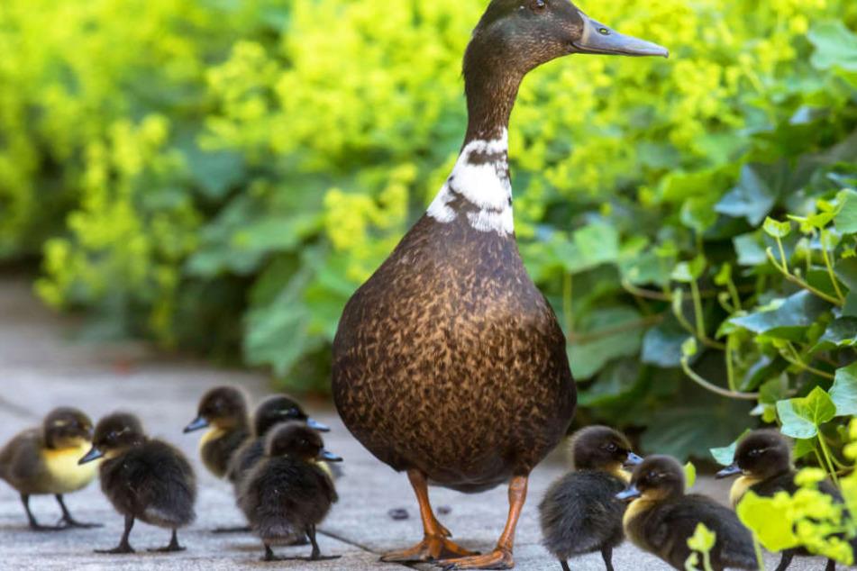 Wie schrecklich: Entenfamilie löst tödlichen Verkehrsunfall aus