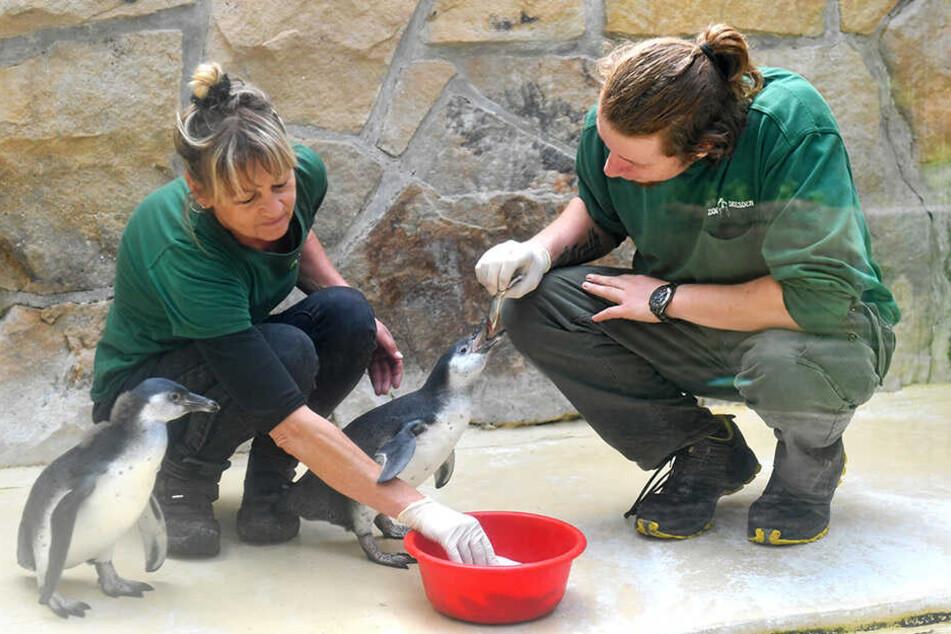 Tierpflegerin Heike Thiergen (58) und Azubi Wolfgang Böhme (25) füttern die kleinen Pinguine mit Fisch.