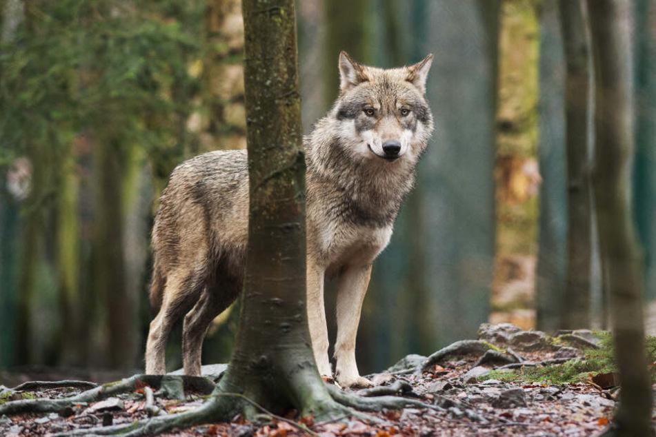 Wölfe sind in der Regel schüchterne Tiere.