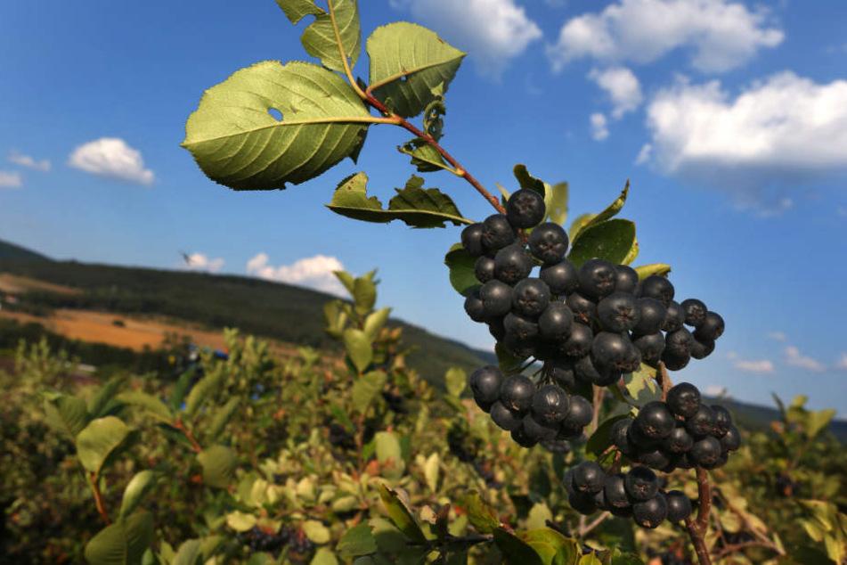 Auf über 140 Hektar wird in Bayern die Aronia-Beere angebaut.