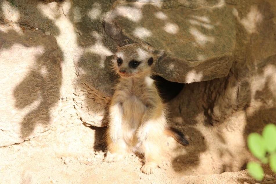 Das Baby-Erdmännchen genießt die Sonne im Gehege.