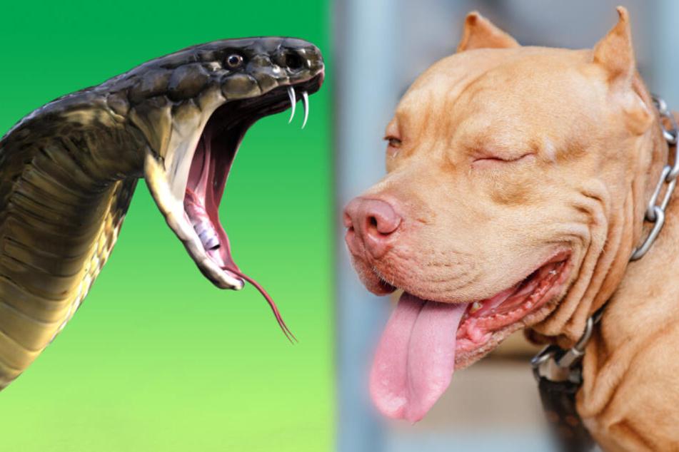 Ein Pitbull wollte seine Familie vor eine Kobra beschützen und musste dafür mit seinem Leben bezahlen. (Symbolbilder)