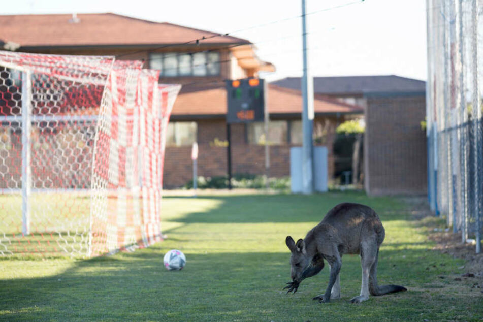 Halbe Stunde Unterbrechung! Plötzlich hüpft da ein Känguru auf den Fußballplatz