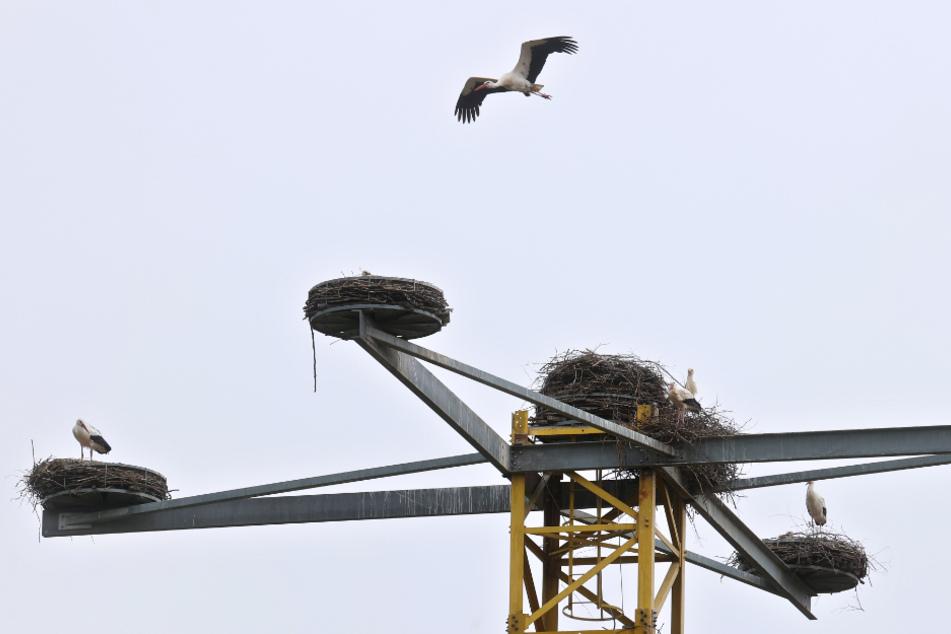 Störche in Bayern: Mehr als ein Dutzend Tiere besiedeln Kranturm im Allgäu