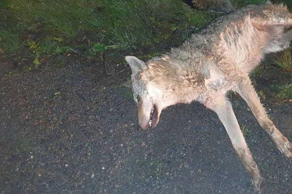 Auf der A9! Toter Wolf an Fahrbahnrand entdeckt