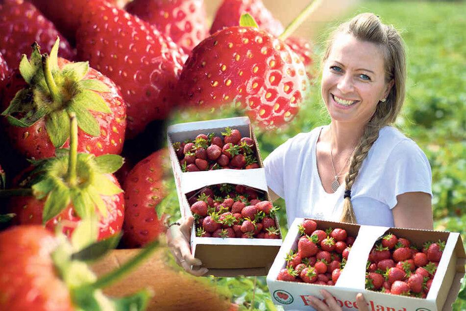 Erdbeeren selber pflücken: Hier gibt es die schönsten Felder