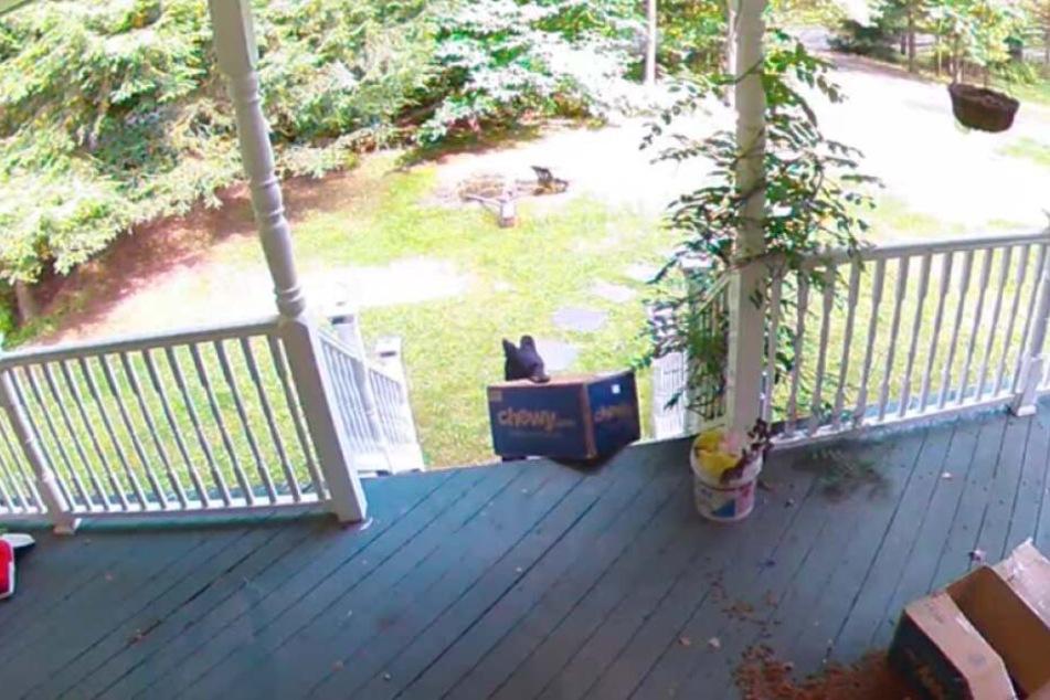 Unglaubliche Bilder: Der Bär zieht das Paket mit seinem Maul von der Veranda.