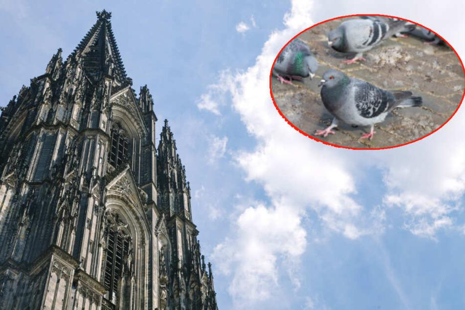 Stadt hat clevere Idee, um Kölner Dom vor Taubenkot zu schützen