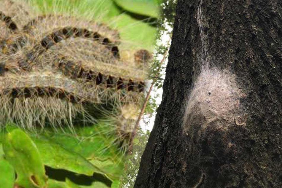 Gefährliche Schädlinge jetzt auch in Dresdner Heide aufgetaucht