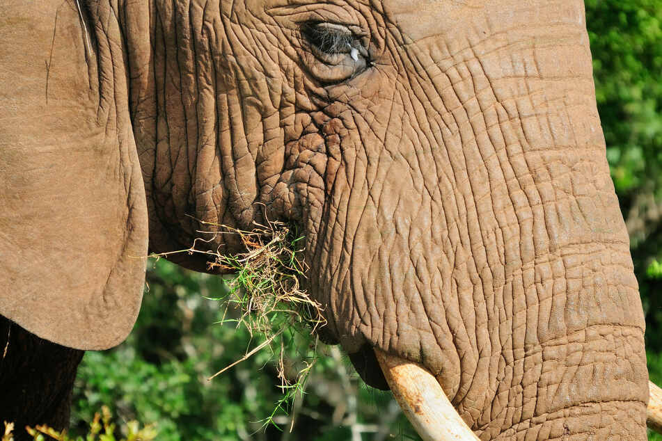 African forest elephants' very existence is threatened by cocoa plantations