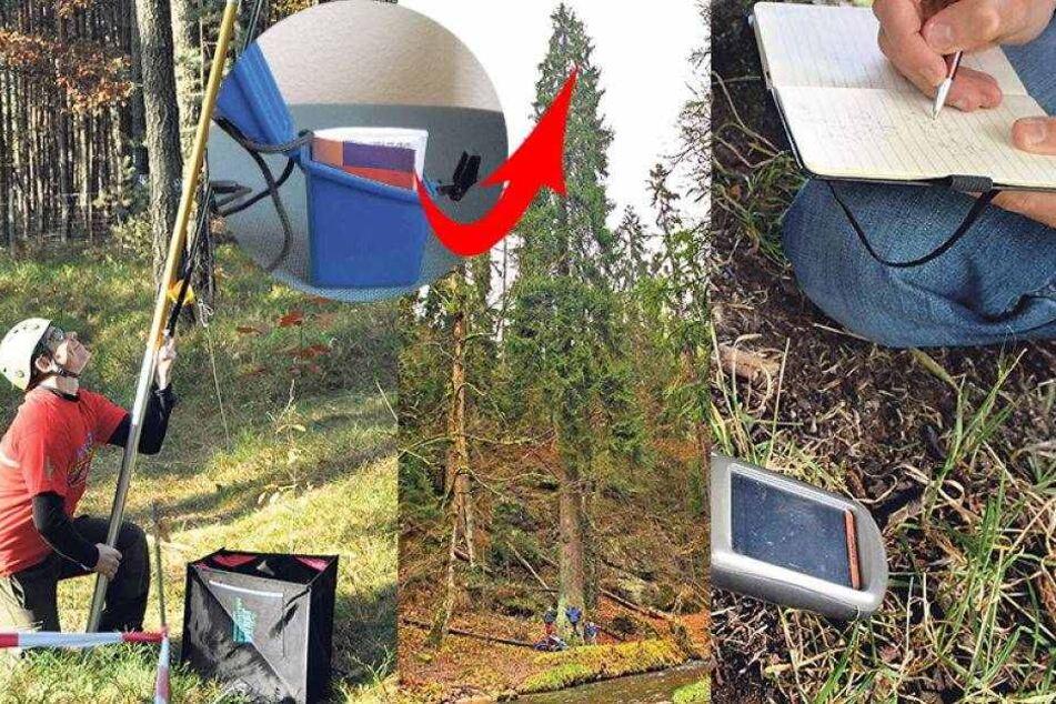 Schnitzeljäger gefährden Sachsens höchsten Baum