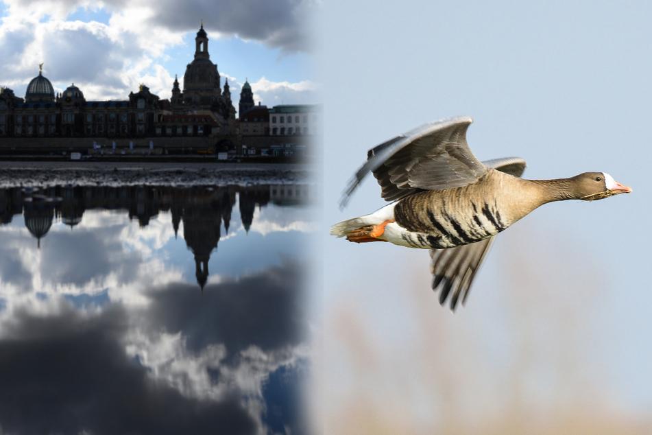 Tote Wildgänse in Dresden: Fälle von Vogelgrippe bestätigt!