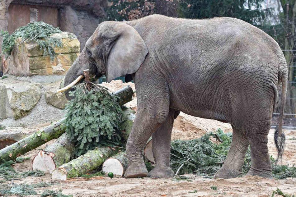 Elefantendame Drumbo war auch schon Schauspielerin für das TJG.