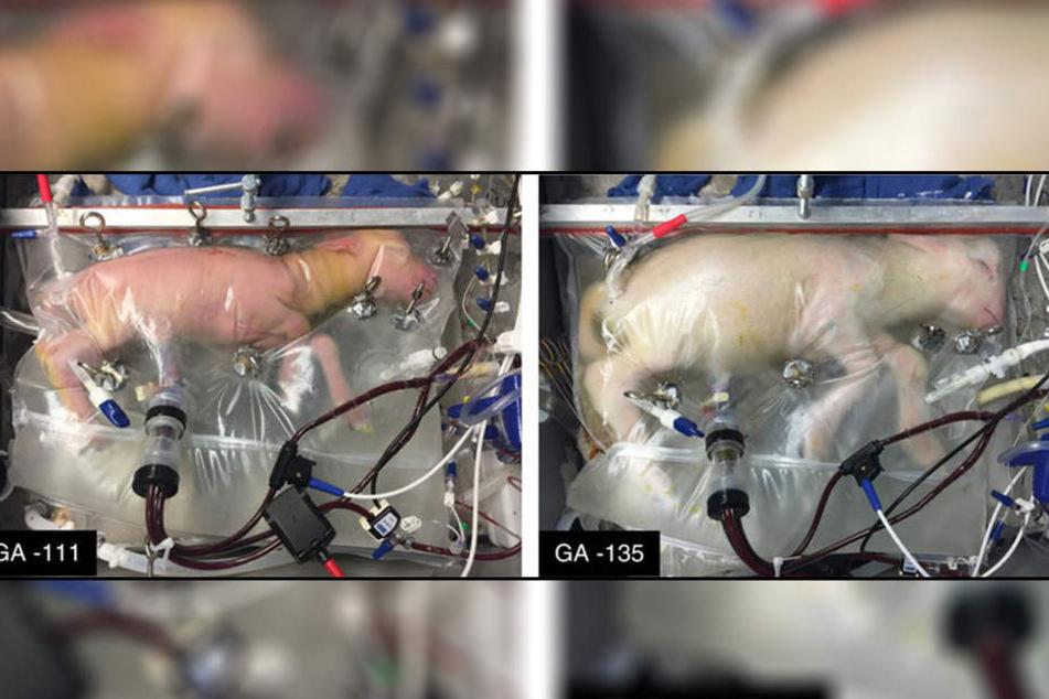 Nach vier Wochen (rechts) in dem Plastikbeutel hat sich das Lamm gut entwickelt.