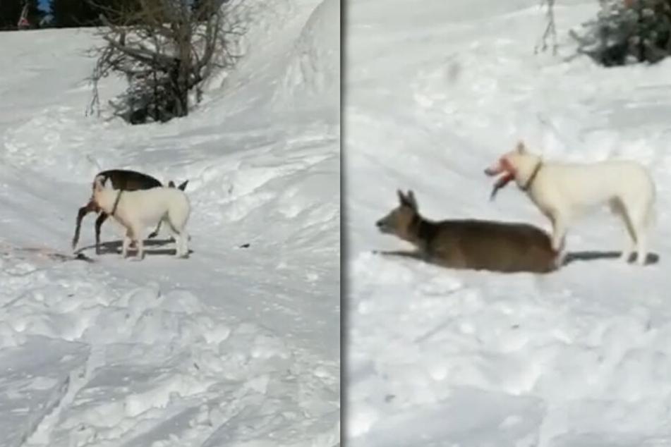 Das Video, das im Netz geteilt wird, zeigt den Angriff des Huskys.