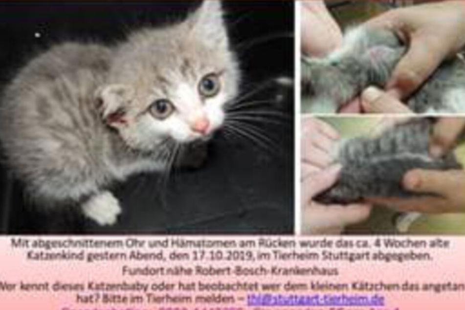 Brutal! Kleiner Baby-Katze wird Ohr abgeschnitten