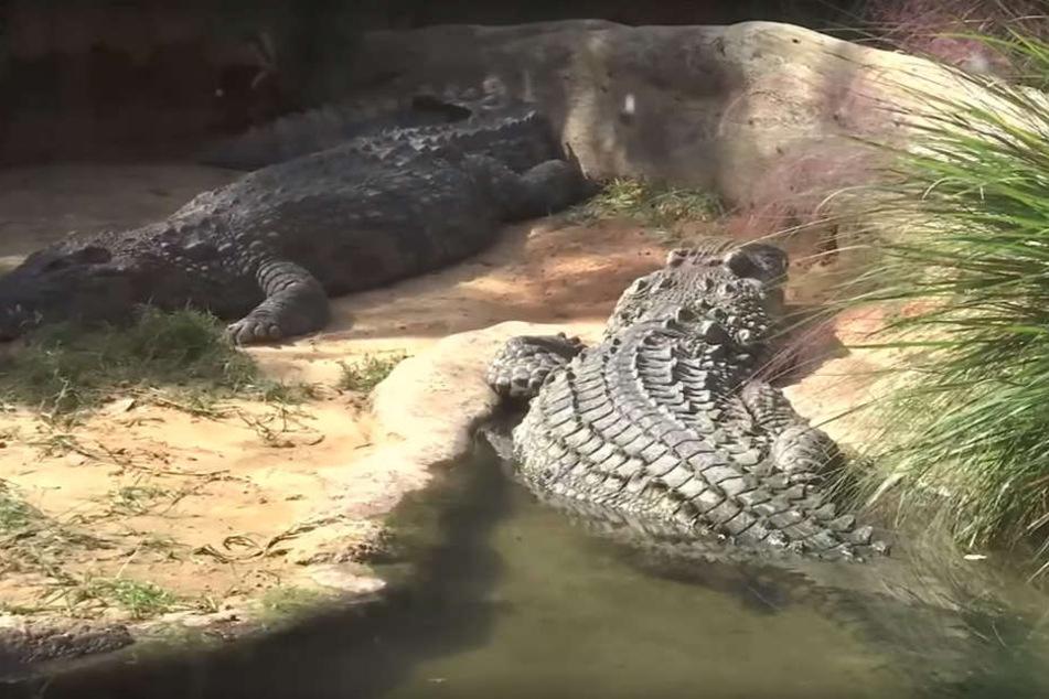 Die Nil-Krokodile verletzten den ungebetenen Gast.